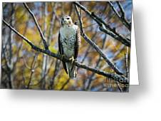 Red-tailed Hawk In The Fall Greeting Card