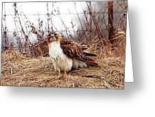 Red Tailed Hawk In The Field Greeting Card
