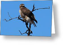 Red Tailed Hawk Greeting Card by Kathy DesJardins
