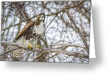 Red Tailed Hawk,  Greeting Card