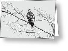 Red-tailed Hawk On Perch Greeting Card