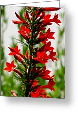 Red Texas Plume Flowers Greeting Card
