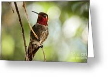 Red Throated Hummingbird Greeting Card