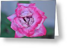 Red Tipped Pink Rose Greeting Card