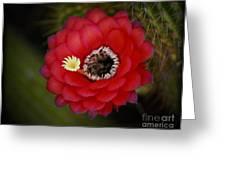 Red Torch Cactus-echinopsis  Greeting Card