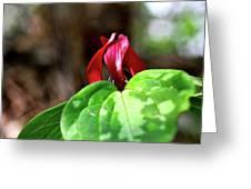 Red Trillium Greeting Card