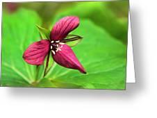 Red Trillium Wildflower Greeting Card
