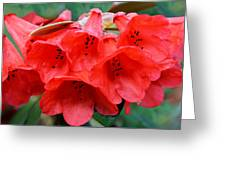 Red Trumpet Rhodies Greeting Card
