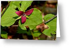 Red Upright Trillium Greeting Card