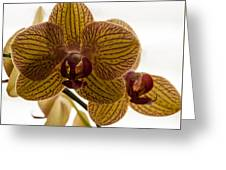 Red Veined Orchid Greeting Card
