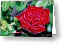 Red Velvet Rose Greeting Card