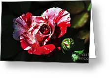 Red Verigated Rose Greeting Card