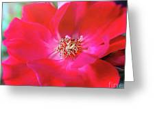Red White Rose Greeting Card