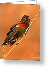 Red-winged Blackbird Belting Out Spring Song Greeting Card