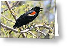 Red Winged Blackbird Greeting Card