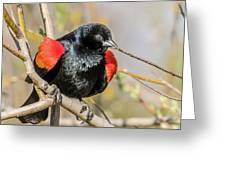 Red-winged Blackbird Foraging Greeting Card