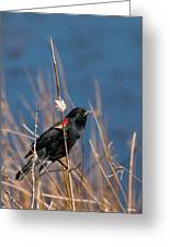 Red-winged Blackbird On Cattail  Greeting Card