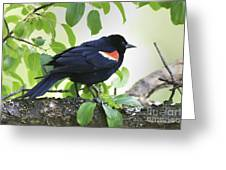 Red Winged In Montreal Greeting Card