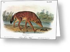 Red Wolf (canis Lupus) Greeting Card