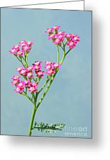 Red Yarrow Greeting Card
