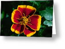 Red/yellow Flower 4-24-16 Greeting Card