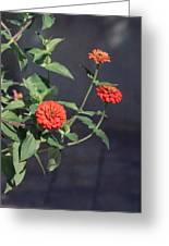 Red Zinnia Flowers Greeting Card