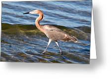 Reddish Egret Wild 2 By Darrell Hutto Greeting Card