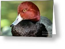 Redhead Duck Greeting Card