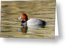 Redhead On Sunny Pond Greeting Card
