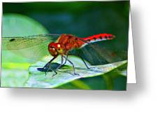 Redheaded Dragonfly Greeting Card