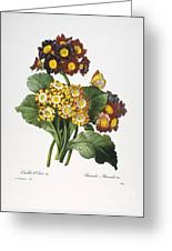 Redoute: Auricula, 1833 Greeting Card