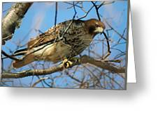 Redtail Among Branches Greeting Card