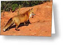 Redtailed Fox Greeting Card