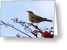 Redwing  - 2 Greeting Card