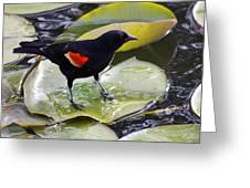 Redwinged Black Bird On A Lily Pad Greeting Card