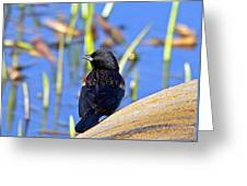 Redwinged Blackbird Greeting Card