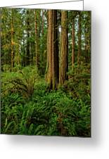 Redwoods And Ferns Greeting Card
