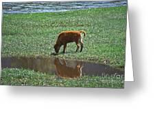 Reflection Buffalo Calf Greeting Card