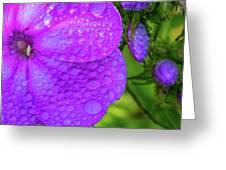 Refreshed Phlox 2 Greeting Card