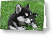 Resting Alusky Puppy Laying In Green Grass Greeting Card