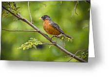 Resting American Robin Greeting Card