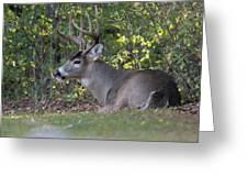 Resting Buck Greeting Card