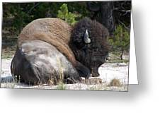 Resting Buffalo Greeting Card