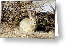 Resting Cottontail Greeting Card