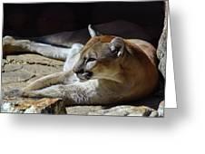 Resting Cougar Greeting Card