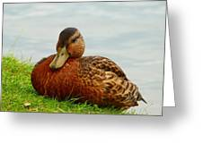 Resting Duck Greeting Card