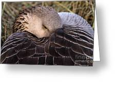 Resting Goose Greeting Card