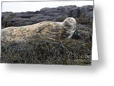 Resting Gray Seal On Seaweed Greeting Card
