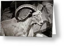 Resting Ram Greeting Card