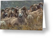 Resting Rams Greeting Card